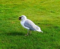 Seagull med sjöstjärnan royaltyfri bild
