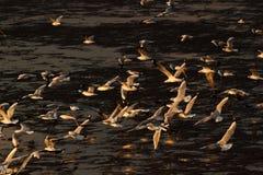 Seagull med solnedgång Royaltyfri Fotografi