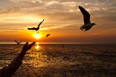 Seagull med solnedgång Royaltyfri Foto