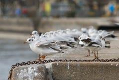 Seagull Meeting Stock Photos