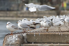 Seagull meeting Royalty Free Stock Photo