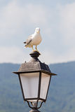 Seagull with menacing look Stock Images