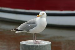 Seagull on a metal pole Royalty Free Stock Photos