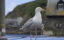Seagull in Mevagissey Stock Photos