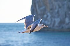 Seagull. Mew captured at the crimea Stock Photography
