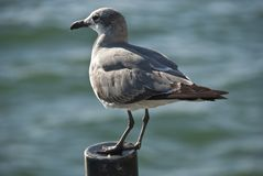 Seagull in Miami, Florida Royalty Free Stock Photography