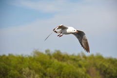 Seagull Migrating Stock Images