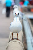 Seagull Royalty Free Stock Photo