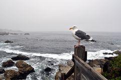 Seagull in Monteray Royalty Free Stock Images