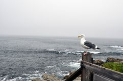 Seagull in Monteray. Seagull standing on wooden fence with ocean Royalty Free Stock Photo