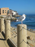 Seagull in Monterey Harbor Royalty Free Stock Photo