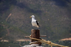 Seagull mooring and ropes with a mountain backdrop. Seagull sitting on a metal mooring and ropes with a mountain backdrop Royalty Free Stock Photo