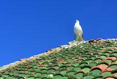 Seagull on moroccan roof tile in fortress. Essaouira. Morocco. Seagull on moroccan roof tile in fortress at Essaouira. Morocco royalty free stock photo