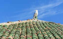 Seagull on moroccan roof tile in fortress. Essaouira. Morocco. Seagull on moroccan roof tile in fortress at Essaouira. Morocco stock photography