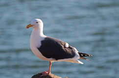 Seagull on Morro Bay breakwater rocks on the California Central Coast Stock Images
