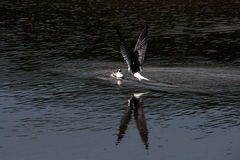 The seagull (morwennol) feeds the baby bird having hanged Royalty Free Stock Image