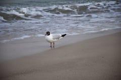 Seagull morzem fotografia stock