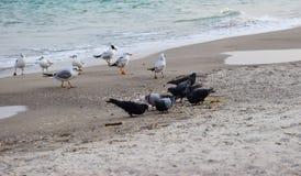 Seagull morzem obrazy stock