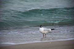 Seagull morzem fotografia royalty free
