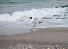 Seagull morzem zdjęcia stock