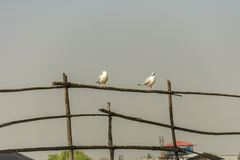 Seagull is the most common species of birds on Inle Lake Stock Photos