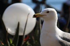 Seagull mot ett vitt jordklot Royaltyfria Foton