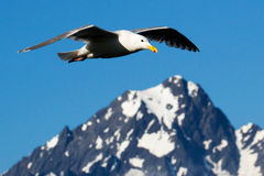 Seagull and mountain Royalty Free Stock Photo