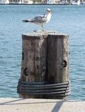 Seagull with Mouth Open on Pier royalty free stock image
