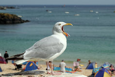Seagull with mouth open and tongue sticking out. Stock Images
