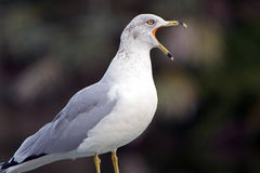 Seagull with mouth wide open Royalty Free Stock Image