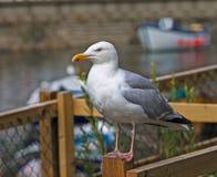 Seagull, mruga! Fotografia Stock