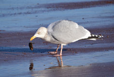 Seagull with Mussel. In beak by seashore Stock Photo