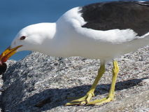 A seagull with a mussel. A seagull with the mussel it caught in its beak Stock Photos
