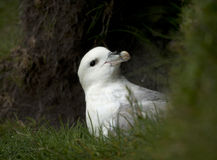 Seagull on Mykines Royalty Free Stock Photos
