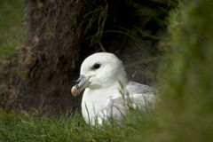 Seagull on Mykines, Faroe Islands Stock Photography