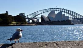 Seagull nära operahus Royaltyfri Bild