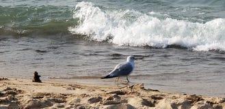 Seagull nära röset på kust fotografering för bildbyråer