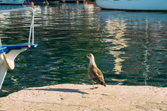 Seagull na łódkowatym moorage Zakończenie W Montenegro Adriatycki S Obraz Royalty Free