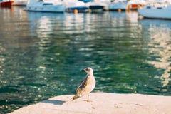 Seagull na łódkowatym moorage Zakończenie W Montenegro Adriatycki S Zdjęcia Royalty Free