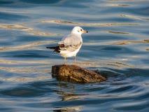 Seagull na beli obraz stock
