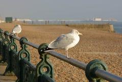 Seagull na Brighton nadbrzeżu, Anglia Zdjęcia Stock