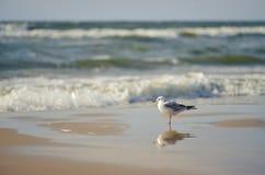 Seagull na brzeg Obrazy Royalty Free