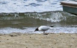 Seagull na brzeg jezioro Zdjęcia Royalty Free