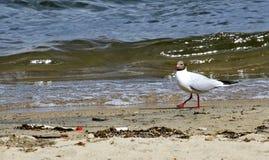 Seagull na brzeg jezioro Obraz Royalty Free