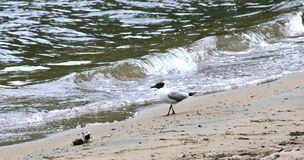 Seagull na brzeg jezioro Fotografia Royalty Free