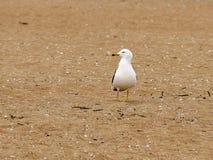 Seagull na brzeg zdjęcie royalty free