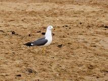 Seagull na brzeg obraz royalty free