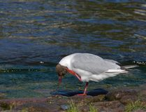 Seagull na brzeg rzeki obraz royalty free