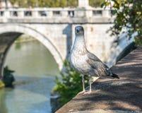 Seagull na brzeg rzekim w Rzym, W?ochy zdjęcie stock