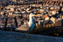 Seagull na ?cianach Santa Barbara kasztel w Alicante, Hiszpania obrazy royalty free
